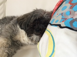Bambou, chien Lhassa Apso