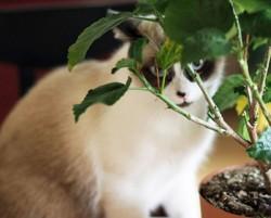 Bambou, chat Ragdoll