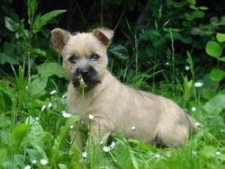 Bambou, chien Cairn Terrier