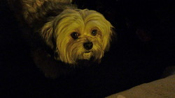 Bambou, chien Lhassa Apso