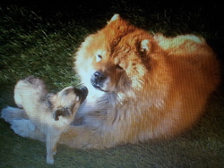 Bambou, chien Chow-Chow