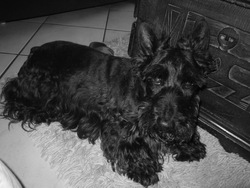 Bambou, chien Scottish Terrier