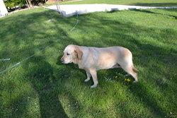 Bambou, chien Labrador Retriever