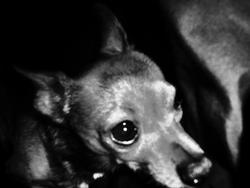 Bamby , chien Chihuahua