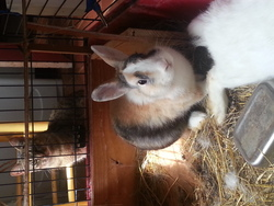 Bamby, rongeur Lapin