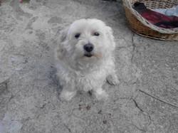 Bamby, chien Bichon bolonais