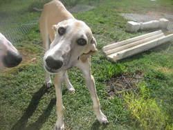 Bamby, chien Lévrier espagnol