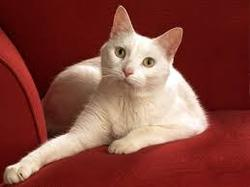 Bana, chat Turkish Van