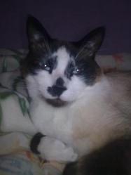 Bandi, chat Siamois