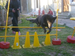 Bandi, chien Berger belge