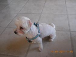 Bandit, chien Bichon maltais