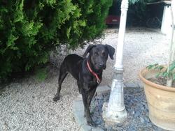 Bandit , chien Labrador Retriever