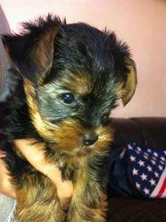 Bandit, chien Yorkshire Terrier