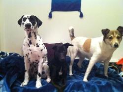 Bandit, chien Dalmatien