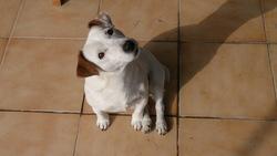 Bandit, chien Jack Russell Terrier