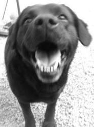 Bandit, chien Labrador Retriever
