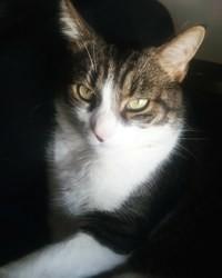 Bandit, chat Européen