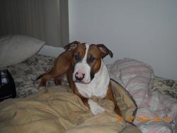 Bandit, chien Staffordshire Bull Terrier