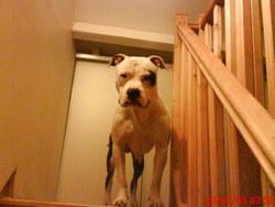 Bandit, chien American Staffordshire Terrier