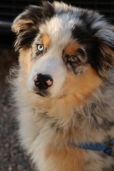 Bandit, chien Berger australien