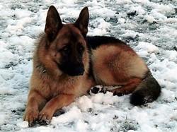 Bandit, chien Berger allemand