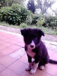 Bandit, chien Border Collie
