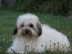 Bandit, chien Coton de Tuléar