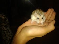 Bandit, rongeur Hamster