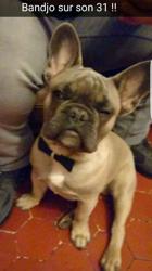 Bandjo, chien Bouledogue français