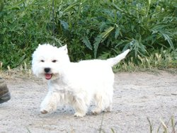 Bandola, chien West Highland White Terrier