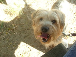 Bandy, chien Yorkshire Terrier