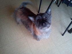 Bandy, chien Cairn Terrier
