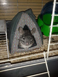 Bandy, rongeur Chinchilla