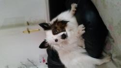 Bandy, chien Spitz allemand
