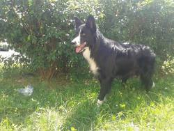 Bandy, chien Border Collie