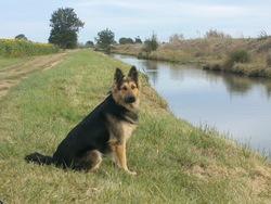 Bandy, chien Berger allemand