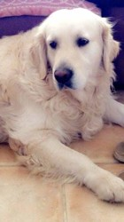 Bandy, chien Golden Retriever