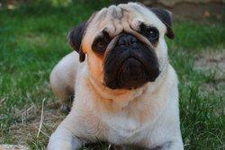 Bandy, chien Carlin