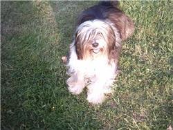 Bandy, chien Terrier tibétain
