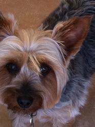 Banjo, chien Silky Terrier