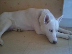Bankyse, chien Husky sibérien