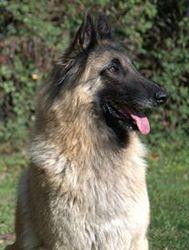 Banquise, chien Berger belge