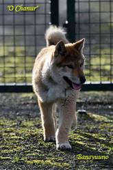 Banshu No Kotoryu, chien Shikoku