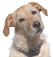 Bant, chien Griffon fauve de Bretagne