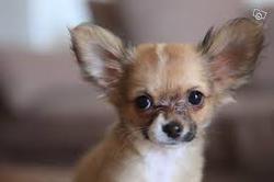 Banzai, chien Chihuahua