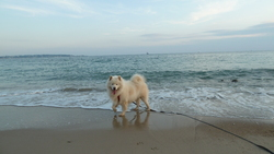 Bao, chien Samoyède