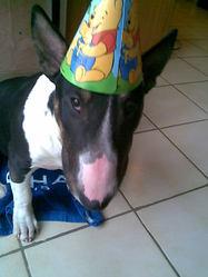 Barback, chien Bull Terrier