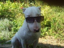 Barbak, chien Bull Terrier