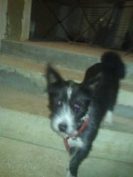 Barbaque, chien Basenji