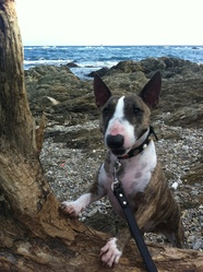 Barbaque, chien Bull Terrier